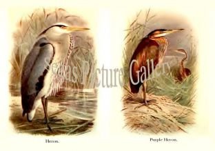 Heron & Purple Heron
